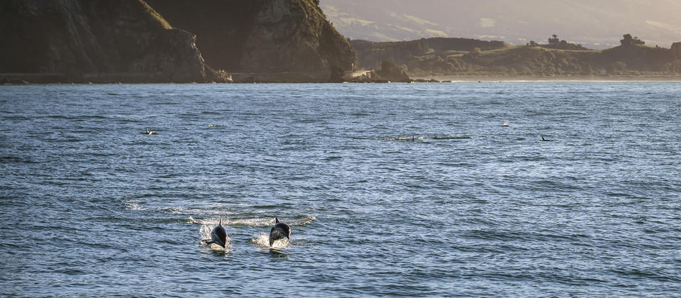 Meet the local dolphins in Kaikoura, Canterbury