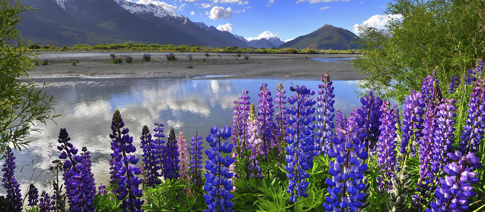 Colourful alpine lupins decorate the foothills of the Southern Alps during spring.