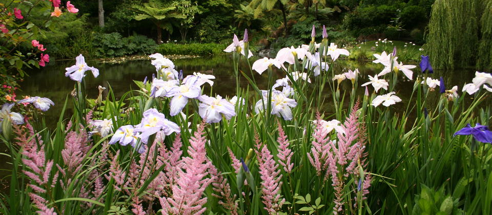 Lousiana Iris surrounding the Cypress pond