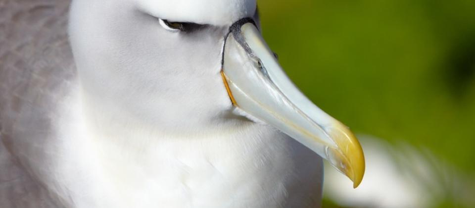 Shy Albatross at the Auckland Islands