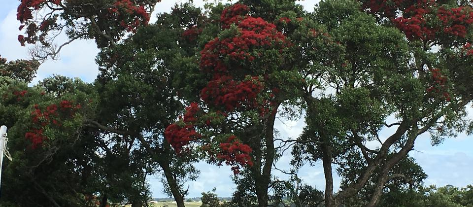 Beautiful Pohutakawa trees around the edge of the camp.