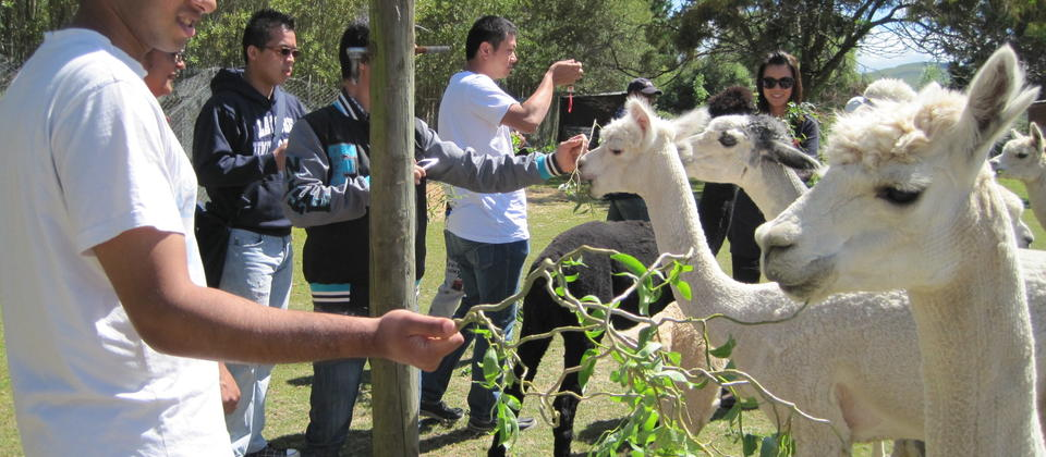Giving our friendly alpacas a treat