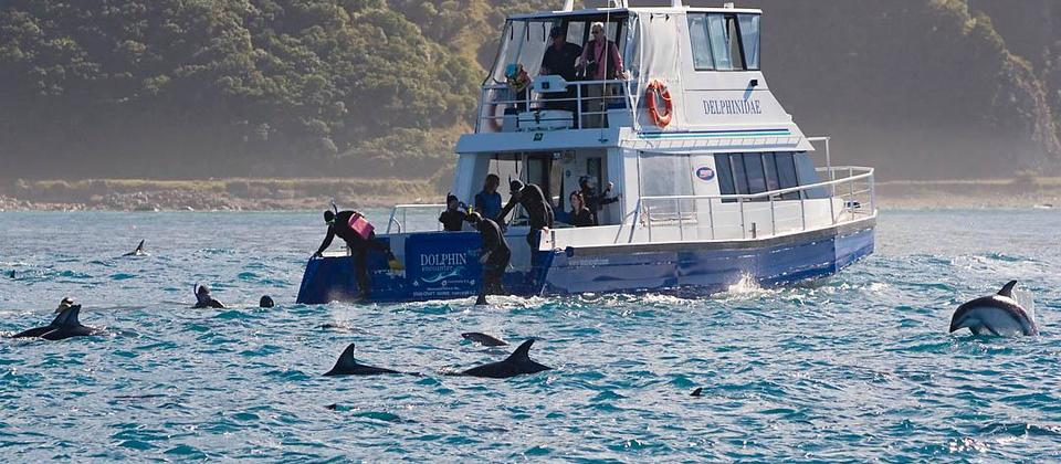 Dolphin swimming at Kaikoura, New Zealand.