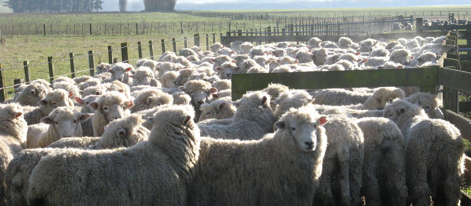 Sheep waiting in yards for shearing