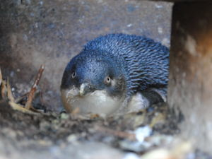 Blue Penguin, Oamaru