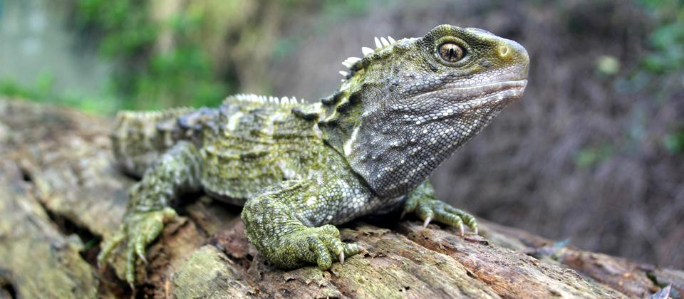 Tuatara means 'spiny back' in Maori, and they are easily identified by the distinctive ridge of spines down their backs.