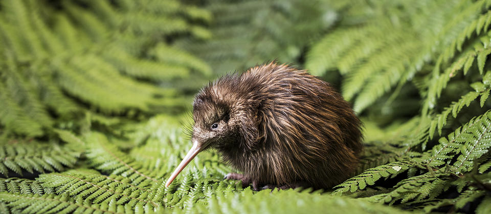 Kiwi bird at Rainbow Springs Nature Park