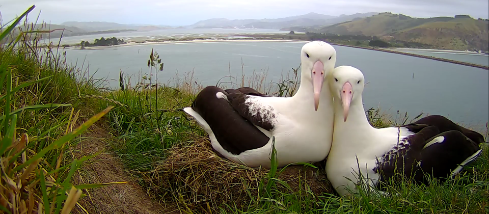 Albatross pair - romantic royalcam.png