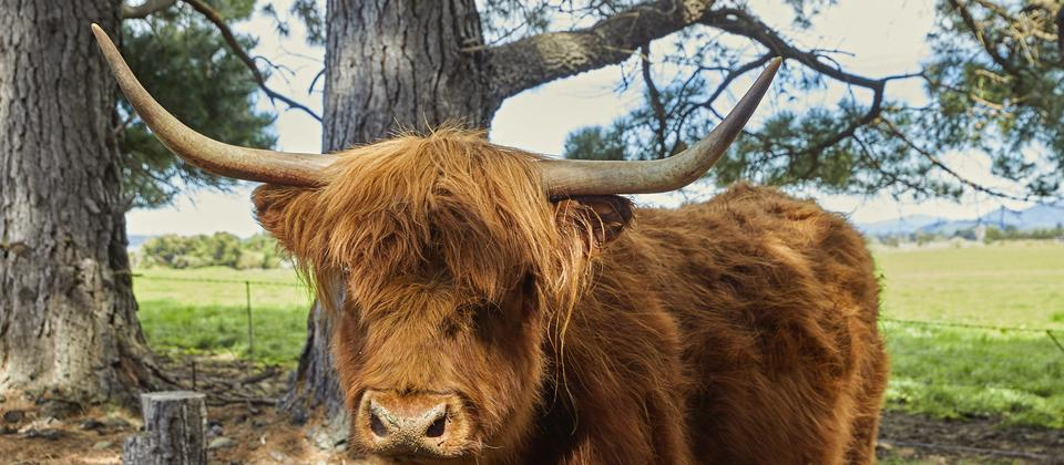 Our Highland Cow