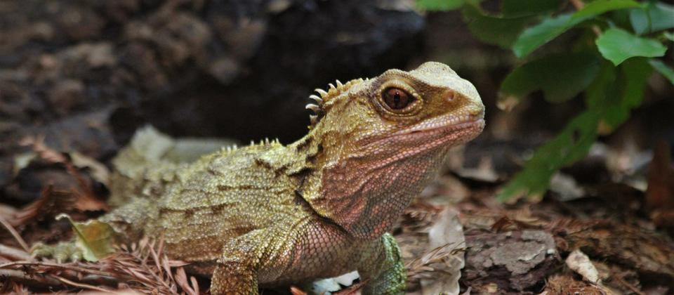 Tuatara: learn about these ancient creatures at the 11:00am daily Reptiles and Forgotten Fauna talk