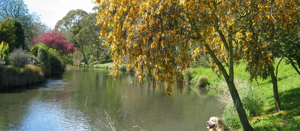 Kowhai Tree by the Avon River in September