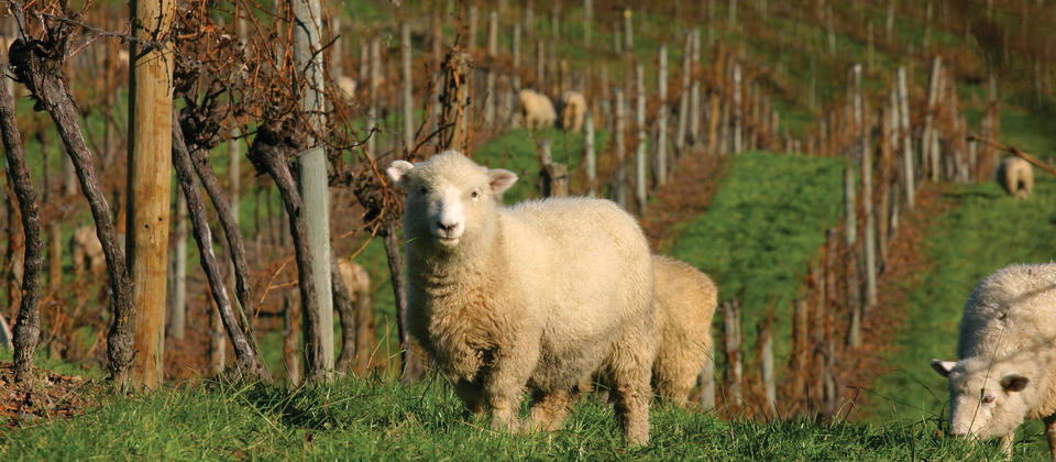 Seifried - sheep in the vineyard (hi res).jpg