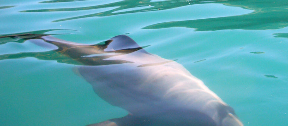 Hector dolphin gently gliding by our kayak