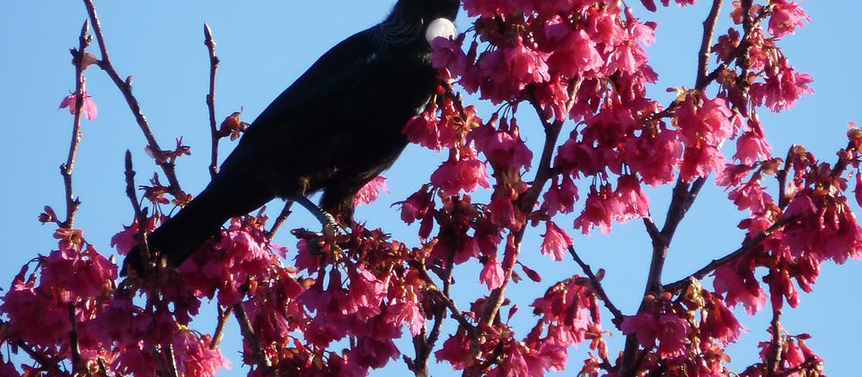 Tui in our Cherry Tree