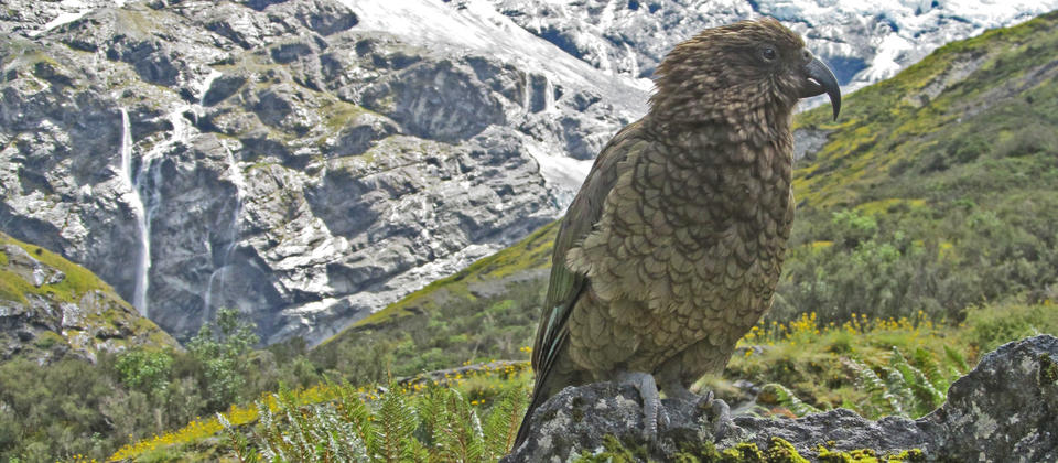 Often we will see the some cheeky Kea - the world's only alpine parrot.