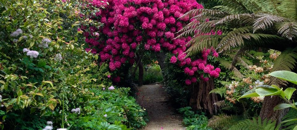Glenfalloch is famous for its beautiful Rhododendrons