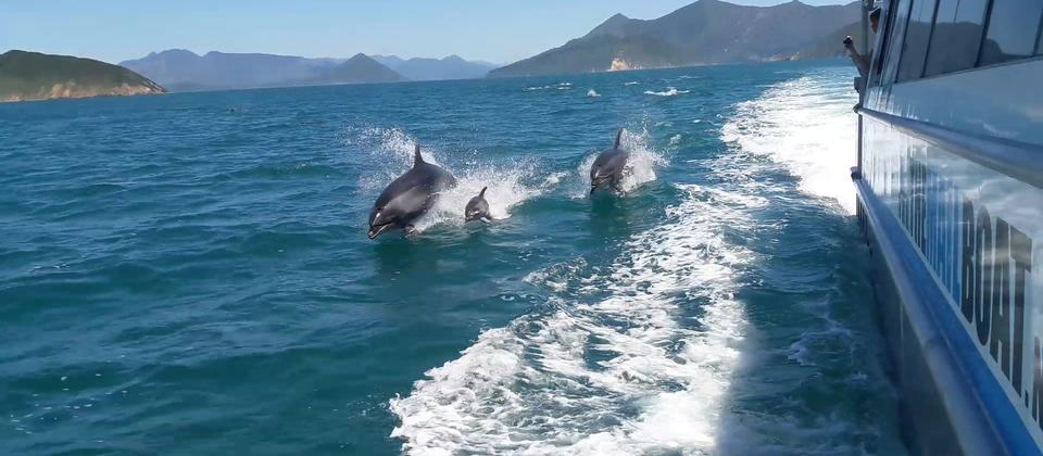 Pelorus Mail Boat with Dolphins Jumping.jpg