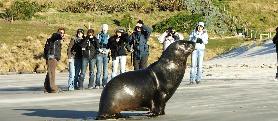 New Zealand Sealion returning to the beach.