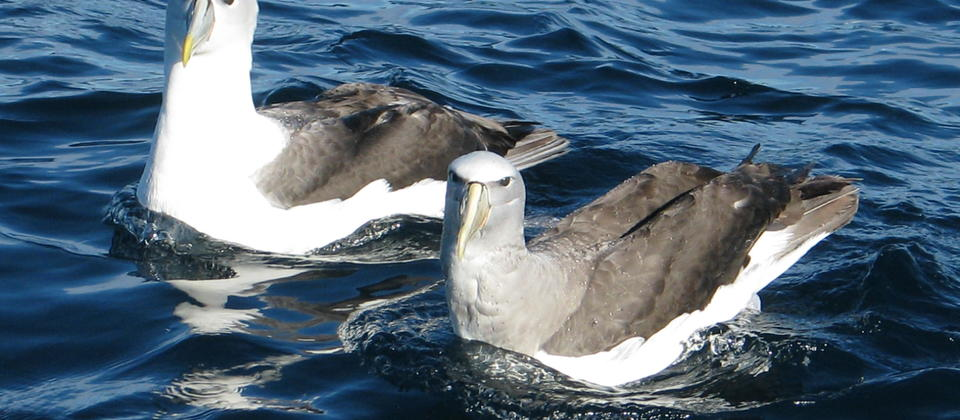 Shy and Salvin's Albatross