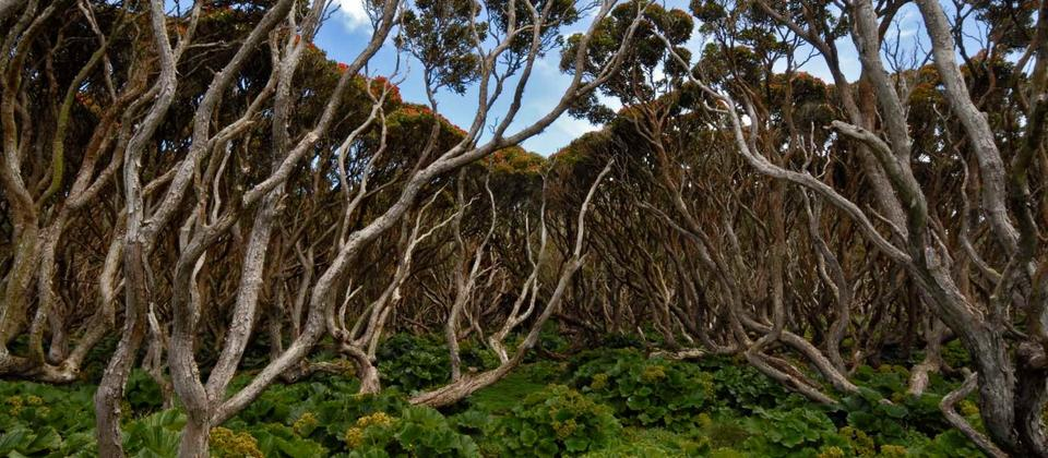 Rata Forest at Enderby Island