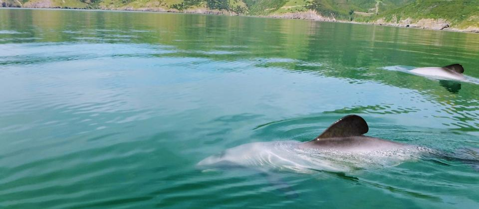 NZ Hector dolphins visiting us