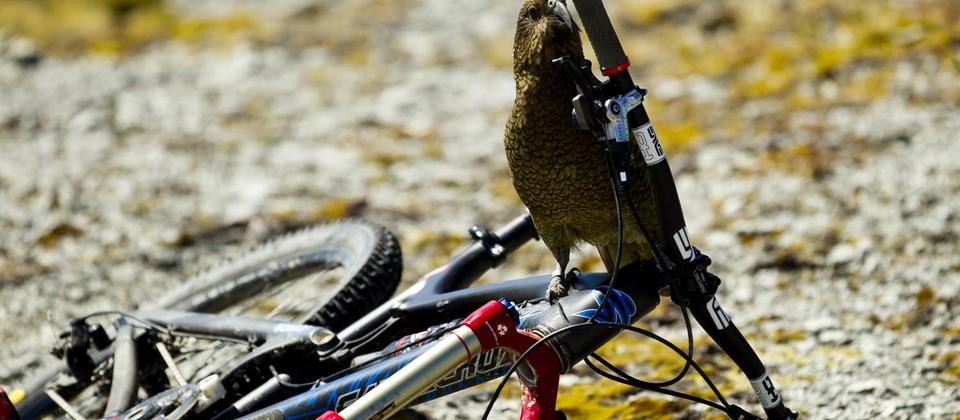 Kea (Native Alpine Parrot)