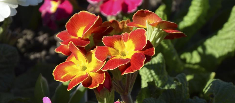 Polyanthus in the Botanical Gardens