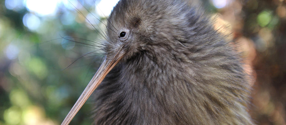 The Kiwi birds can be seen at our nocturnal enclosure at Te Puia, Rotorua.