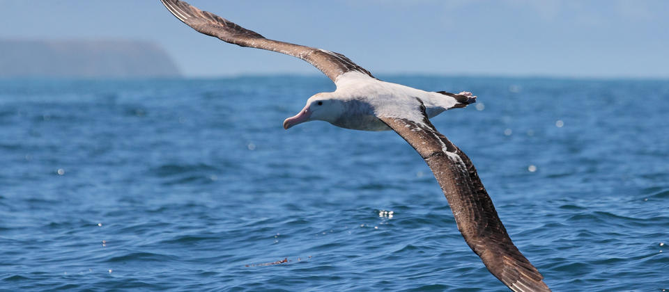 Wandering Albatross, Kaikoura New Zealand.