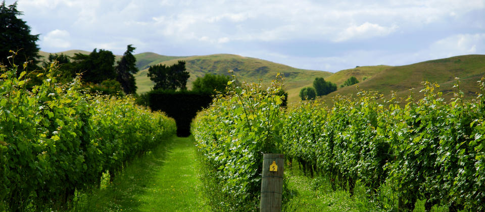 Vineyard in Hawkes Bay New Zealand