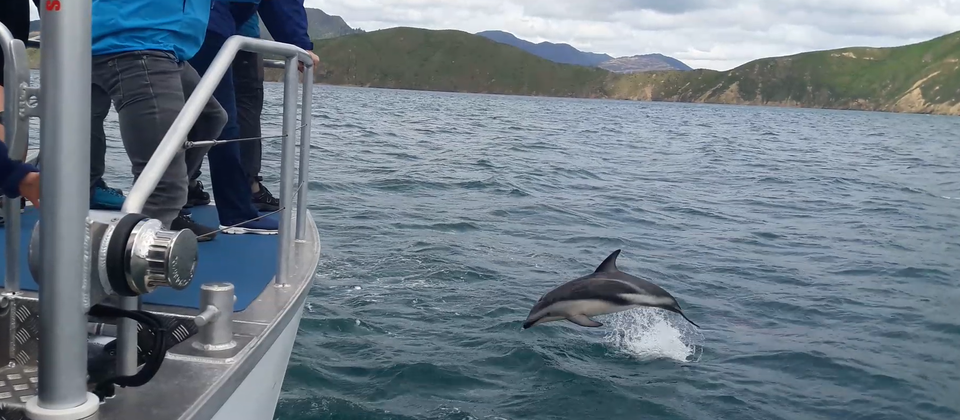 Dusky Dolphin near the Pelorus Mail Boat.png