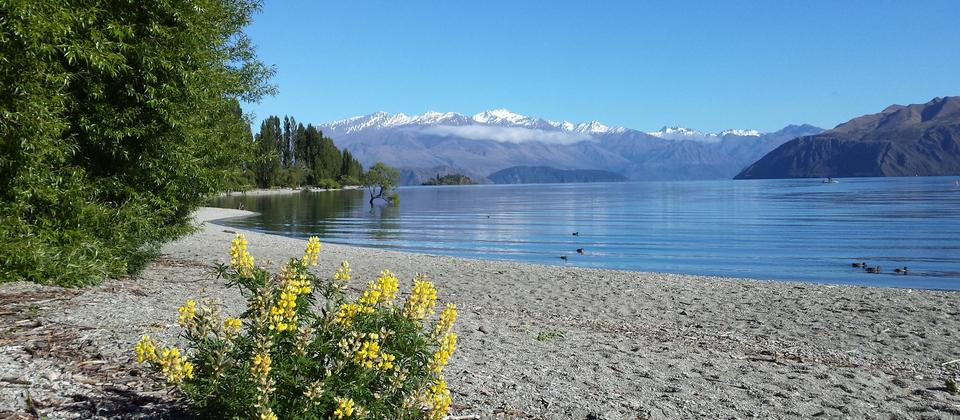 Summer wild flowers on the shores of Lake Wanaka
