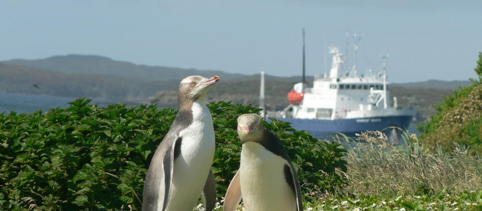 Yellow-eyed Penguins watch over the Spirit of Enderby anchored in Sandy Bay
