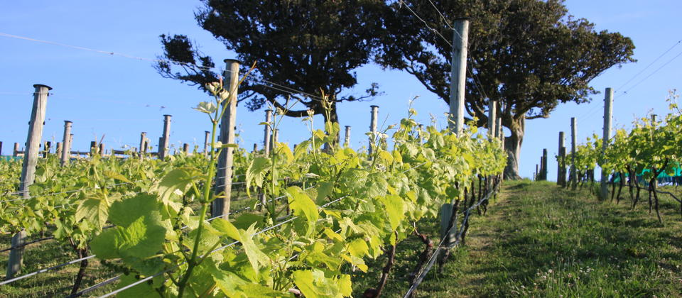 Vines on the sun-filled slopes