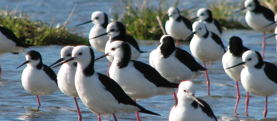 Pied Stilts on Okarito Lagoon