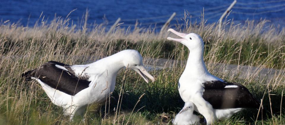 Royal Albatross and chick Credit Leon Chu.JPG
