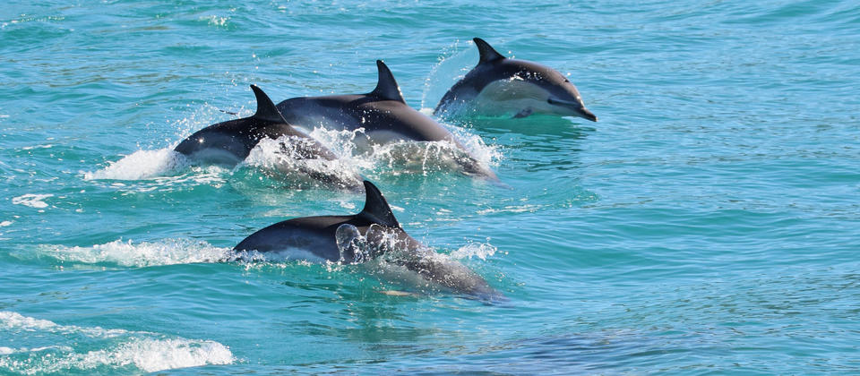 Common Dolphins, Kaikoura New Zealand