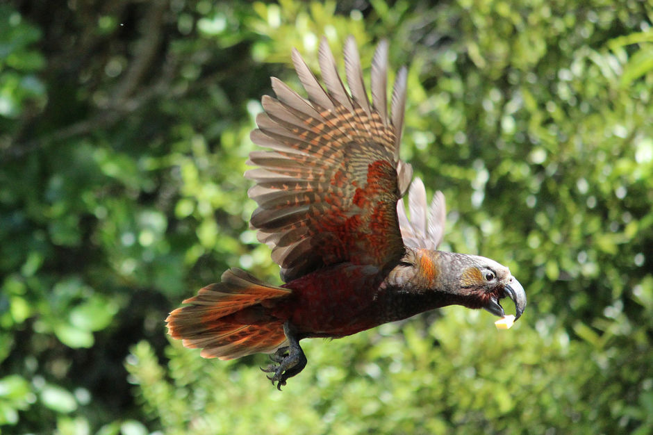 Kākā in flight