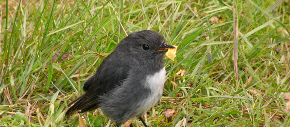 Native South Island Robin with some of our delicious picnic