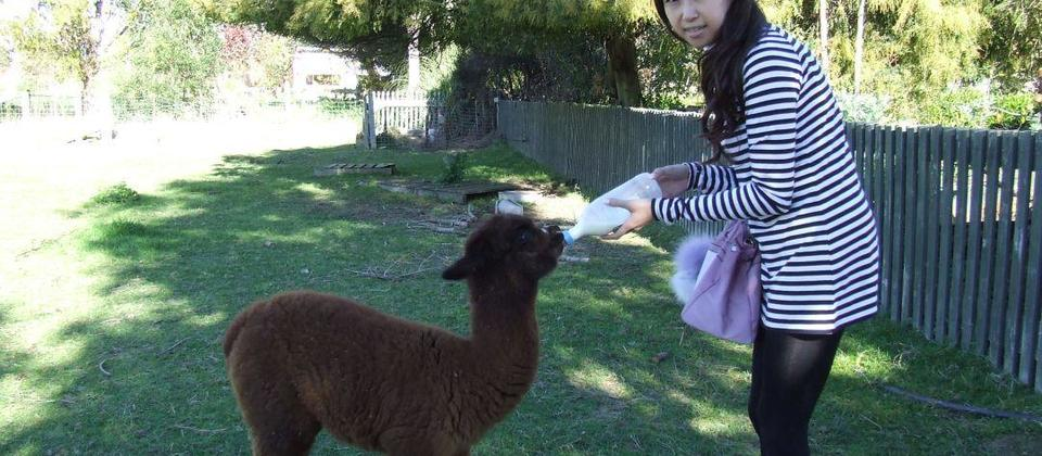 Our guest bottlefeeding an orphaned cria (baby alpaca)