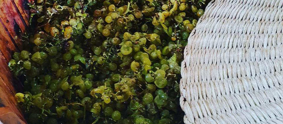 Basket pressing grapes at Kennedy Point Vineyard