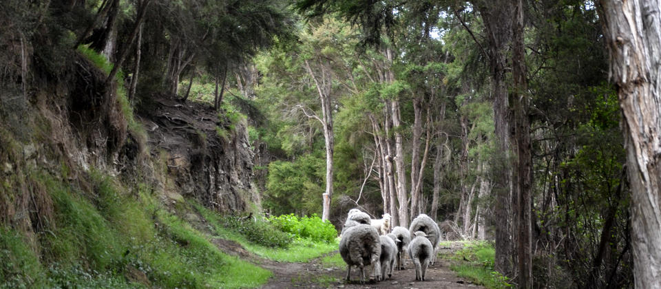 2016-01-31 PP4 sheep on walking track.jpg