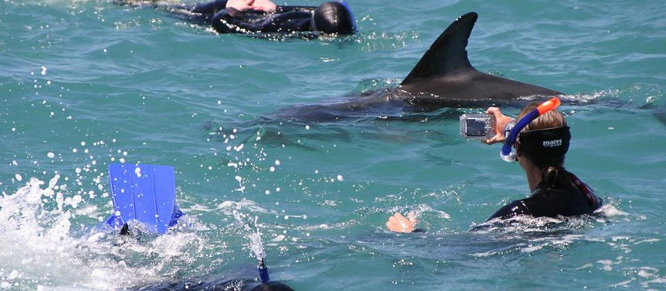 A dolphin swimmer photographing dusky dolphins.