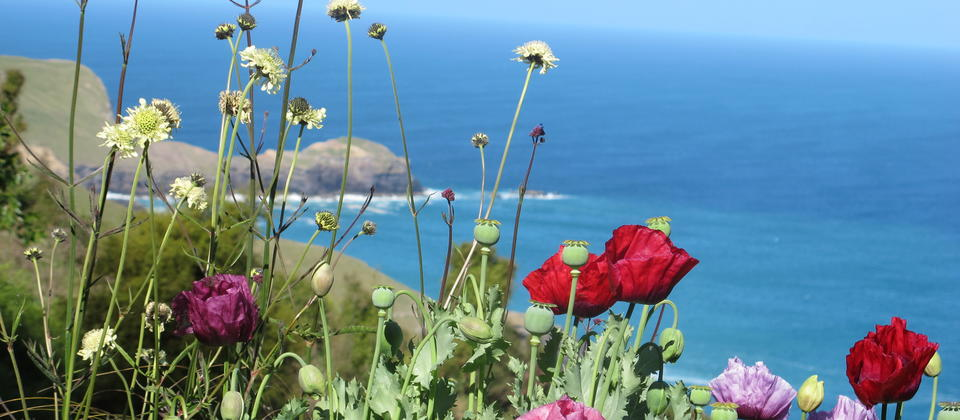 Poppies and our view of the Pacific Ocean