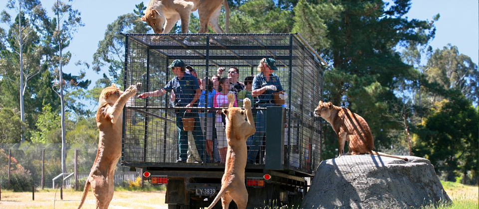 "Orana's unique Lion Encounter takes visitors through the African Lion Habitat on board a specially modified vehicle for extremely close views of the ""King of Beasts"" feeding"