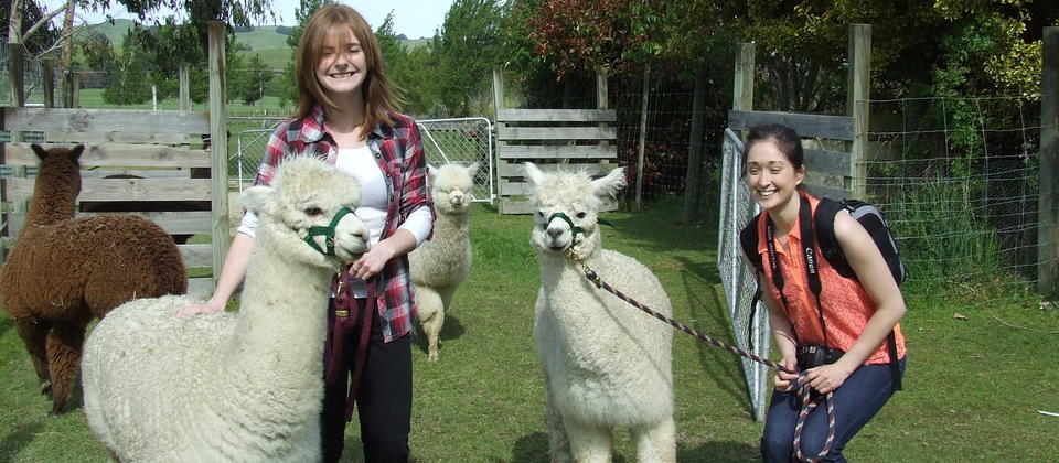Everyone has fun leading the alpacas