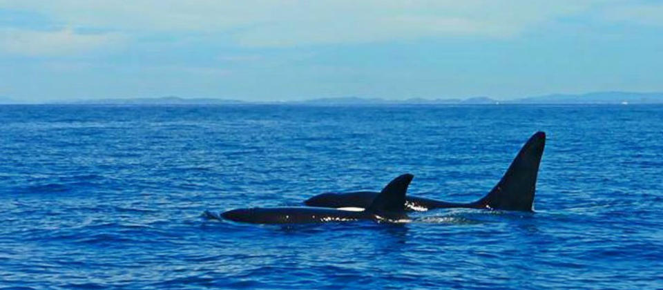 Magical moments with a mother and baby Orca in the Hauraki Gulf