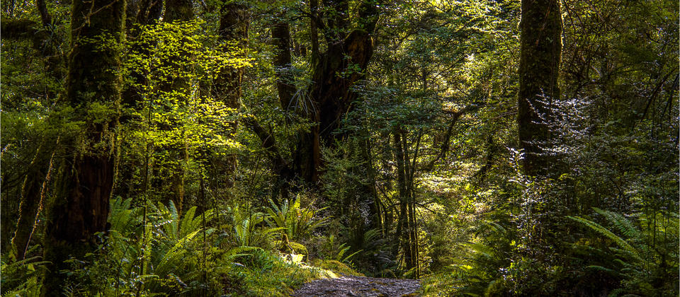 Rainforest-Milford-Track-NZ0130-14x20.jpg