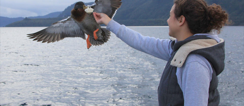 Feed the ducks straight off the boat on a daily scenic cruise on lake Taupo with Chris Jolly Outdoors