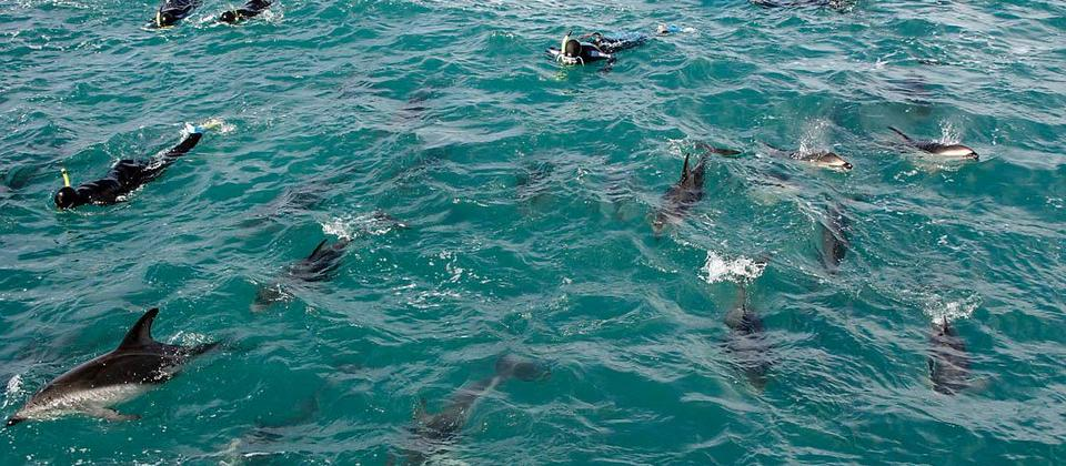 Swimming with Dusky Dolphins